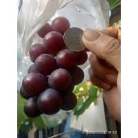草生栽培新鮮葡萄